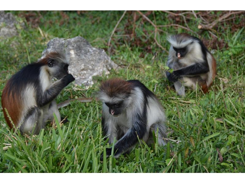 Le scimmie  colobo rosse